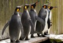 Celebrate like a king...penguin at Birdland Image