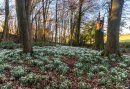Snowdrops are blooming early at Rococo Garden Image