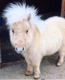 Teddy the Shetland to star at Hartpury Summer Fair Image