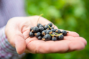 Ribena owner invests £500,000 in hunt for new climate-resilient blackcurrant varieties Image