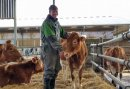 New home for pedigree Guernsey cattle at Hartpury Image